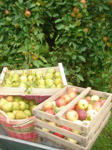 Cageots de pommes